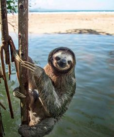 Well fancy seeing you here! The sweetest smiling sloth found hanging out Cute Baby Sloths, Cute Baby Animals, Animals And Pets, Funny Animals, Voyage Costa Rica, Costa Rica Travel, Costa Rica Sloth, Cute Sloth Pictures, Animal Memes