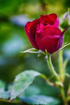Rosebud by Francesco Pala on 500px
