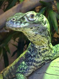 Baby Komodo Dragon. Phoenix, AZ
