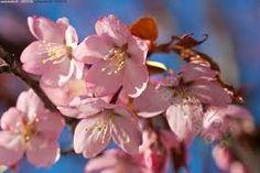 kirsikan kukka kuvat - Google-haku