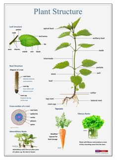 Tirine is a publisher of educational posters, timelines and classroom displays Biology Lessons, Science Biology, Science Lessons, Science Education, Teaching Science, Science For Kids, Teaching Plants, Horticulture, Poster Digital