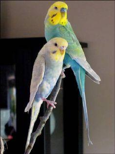 birds birds birds Fancy Parakeet, Parakeet Colors, Budgie Parakeet, Budgies, Australian Parrots