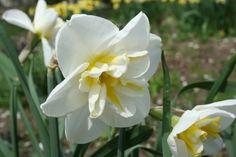 lemon beauty narcissus - limited quantities, short, $7.50/bunch