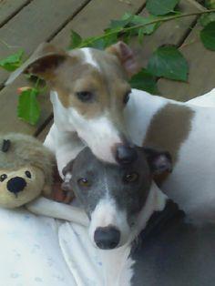 My Italian Greyhounds Yang & Tag! My True Puppy Loves!