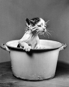 """Nina Leen, 1940, A sodden kitten emerges, undaunted, from a pot of milk. """"Cats only pretend to be domesticated if they think there's a bowl of milk in it for them."""" (Robin Williams)"""