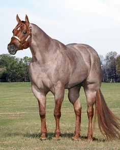 Huge horse, big muscular horse, cappuccino color horse, brown horse, coffee horse,  Cisco Kid