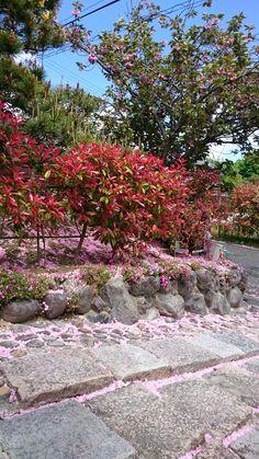 八重桜がハラハラと散ってましたが、石畳道がピンク色で美しい。お客様のお宅。