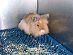 Capucine, lapine naine vue à trois reprise pour dilatation gastrique.