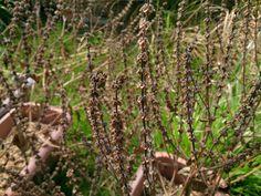 Holy Basil #herbs