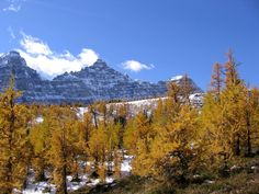 Fall in Banff - beautiful larch trees Banff Hotels, Larch Tree, Great Hotel, Banff National Park, Lodges, Trees, Events, Mountains, Fall