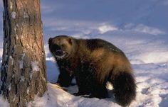 Koti, My Land, Wolverine, Nature, Photography, Animals, Beauty, Naturaleza, Photograph