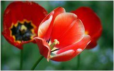 Red Poppy Flower Wallpaper   red poppy flower wallpaper