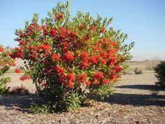 Toyon, (heteromeles arbutifolia) Cal native, 8' tall in sun, 20' tall in shade, white flowers turn red by December