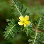 Tribulus terrestris /   Boosts immune function and improves sexual function in men by increasing testosterone lavels. In European folk medicine it has been used to treat headache, constipation, sexual problems, and nervous disorders. Chinese and Indian people praised the plant for its effectiveness in the treatment of liver, kidney, and cardiovascular conditions. In Turkey, the plant was commonly used to lower blood pressure and cholesterol levels.