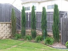 Italian Cypress - Place between the back windows with ground cover pine/cypress