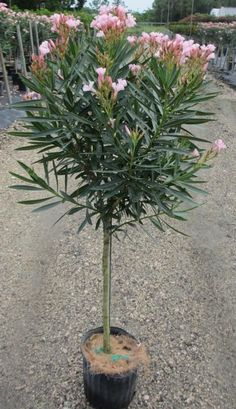 Oleander is great in the valley. It looks best as a shrub up against a wall. - Laurel How to Prune Oleander Trees - Arizona Gardening Forum - GardenWeb Landscaping Images, Landscaping With Rocks, Landscaping Plants, Vegetable Planting Guide, Home Vegetable Garden, Oleander Plants, Arizona Gardening, Drought Tolerant Garden, Backyard Trees