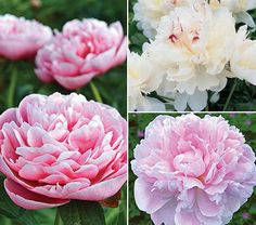 Fragrant Peony Collection - would have appreciate the names... love the white one. And ships as: BAREROOT (not like that), plus is for SUN.