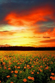 Orange flowers & sunset