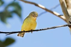 Weebill -- smallest Australian bird at approx. 8 to 9 cm long. It is an olive-yellow songbird with a grey bill, brown wings, pale yellow eyes and grey feet