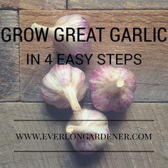 Grow Great Garlic In 4 Easy Steps
