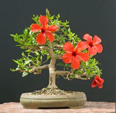 When it comes to flowering bonsai, nothing is more striking, colorful, and unique than a hibiscus. The large leaf and flower size can be an intimidating obstacle to anyone attempting to shape a bonsai from a hibiscus, but the payoff. Flowering Bonsai Tree, Bonsai Tree Care, Flowering Plants, Hibiscus Rosa Sinensis, Plantas Bonsai, Flower Seeds, Flower Pots, Cactus Flower, Flower Tree