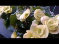 YouTube Begonia, Make It Yourself, Rose, Youtube, Plants, Roses, Youtubers, Plant, Youtube Movies