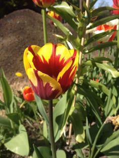 "Tulipa Triumph "" Helmar""."