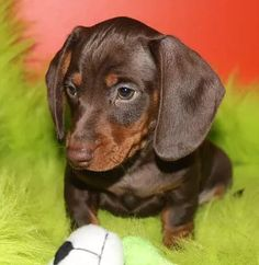 Miniature Dachshund puppies | Dapple & Piebald dachshunds | winnipeg | PICTURES  Awesome ! We're glad you feel like it ! Allow us to know if you get problems at all , we're willing tohelp : ) Here's my shop ==> https://etsytshirt.com/dachshund #birthdaygifts