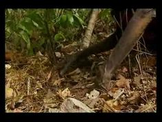 Australia Ray Mears Wild Food E1 part 6