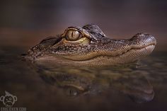 Erblicken.com » Mississippi-Alligator