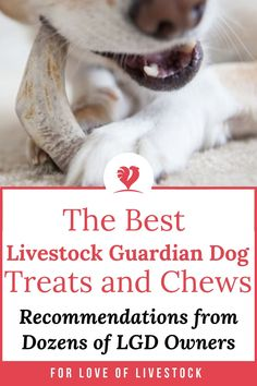 Wondering what kind of treats to get for your livestock guardian dog (LGD) breed? You want something that lasts, but you also want something safe and healthy. I talked to dozens of livestock guardian dog owners and asked them what they use for their dogs. Here's what they had to say.  #livestockguardiandog #LGD #dogtreat #trainingtreat #dogtraining Raising Farm Animals, Animals And Pets, Great Pyrenees Dog, Farm Dogs, Tibetan Mastiff, Anatolian Shepherd, Working Dogs, Dog Care, Livestock