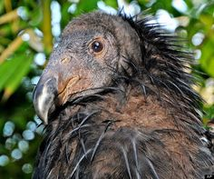 Endangered species:  california condor