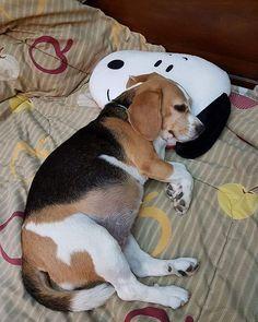Sleeping beagle on Snoopy