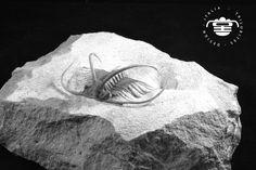 trilobite Boedaspis ensifer (Whittington & Bohlin 1958) Ordovician Russia
