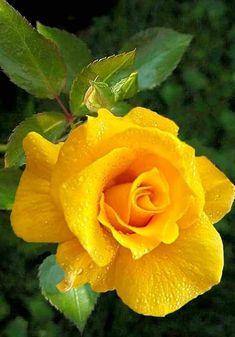 Beautiful Flowers Garden, Flowers Nature, Amazing Flowers, Beautiful Roses, Colourful Wallpaper Iphone, Flower Wallpaper, Yellow Roses, Red Roses, Growing Lemon Trees