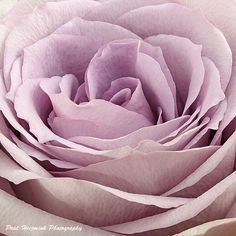 Rosa Lullaby