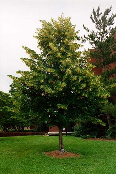 Tilleul à petites feuilles (feuillu)