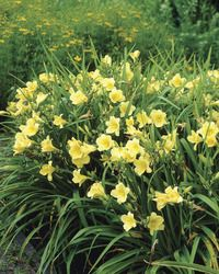 "Happy Returns Daylily: Canary yellow (opposed to golden color of Stella D'Oro) 18"" H, 3"" bloom, summer to fall~"