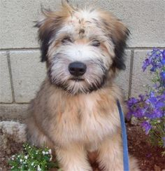 Wheaten Terrier!