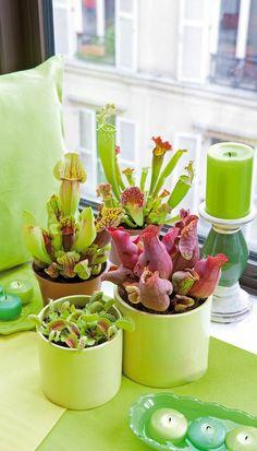 pots brimming with carnivorous plants!!! definite goals!