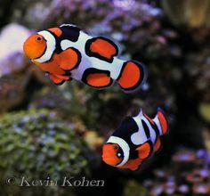 ORA Picasso Clownfish I want so bad! Underwater Creatures, Underwater Life, Ocean Creatures, Saltwater Aquarium Fish, Saltwater Tank, Under The Water, Marine Aquarium, Marine Fish, Colorful Fish