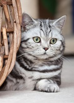 Domestic cat - Silver tabby