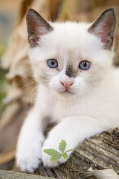 """* * CAT SNIP: Most people, when they think of Siamese, think of long, tubular-shaped cats with narrow wedge-shaped heads. How- ever, the traditional Siamese, affectionately referred to as """"Applehead"""", is a much sturdier-looking cat, thicker throughout, with less prominent ears and a shorter nose."""