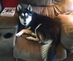 Astrid, our current foster daughter. Husky Rescue, The Fosters, Daughter, Dogs, Animals, Animales, Animaux, Pet Dogs, Doggies