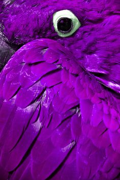 Purple parrot - a Photoshop job on a Hyacinth Macaw unfortunately. There are no purple Macaw parrots. If there was, as a purple and parrot obsessive I would have one! Purple Bird, Purple Love, All Things Purple, Purple Lilac, Fuchsia, Shades Of Purple, Deep Purple, Purple Stuff, Pink