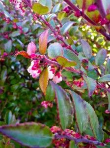 Evergreen Hucklberry shurb great_plant_pick, full sun to full shade