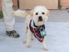 TUFFY - ID#A463717 I am ready to go! My name is TUFFY I am a male, white and brown Norfolk Terrier. The shelter staff think I am about 3 years old. I have been at the shelter since Jul 12, 2016. This information was refreshed 55 minutes ago and may not represent all of the animals at the Harris County Public Health and Environmental Services.