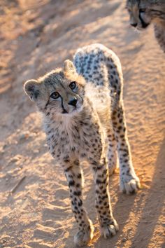 Curious Baby - Baby Cheetah very curious next to our car.