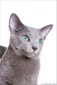 Click to learn about the history, personality, common traits and health issues for the Russian Blue cat. (Photo courtesy of TICA)