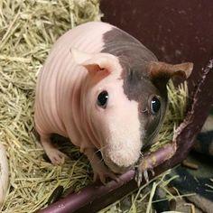 Pipsqueak the hairless guinea pig